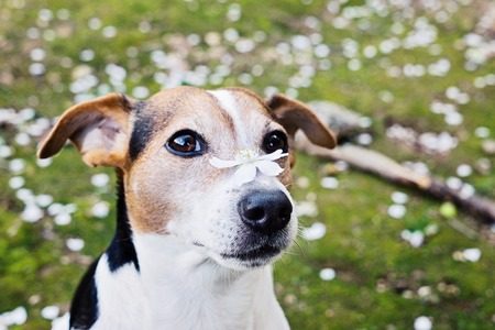 白い花を持つかわいいジャックラッセル犬のクローズアップポートレート。春が来るコンセプト