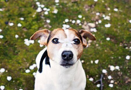 愛らしいジャックラッセルテリア犬は、鼻に桜の花とカメラを見て、白い花びらと草の中に座っています。春が来るコンセプト 写真素材