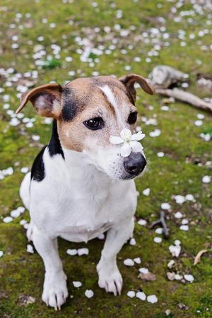 白い花びらと草の上に座って鼻に桜の花を持つかわいいジャックラッセルテリア犬。春が来るコンセプト