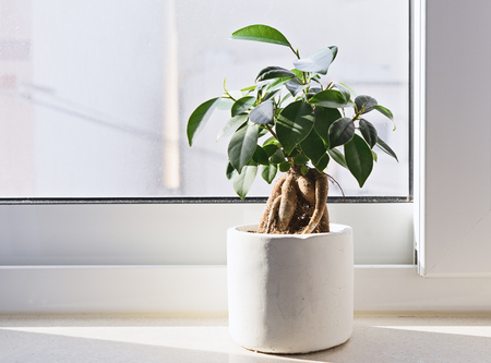 Potted Ficus Bonsai on light windowsill. Indoor flower for office concept Stock Photo
