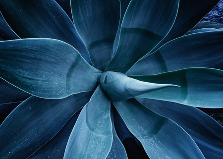 Close up the agave plant Agave Attenuata blue fox tail plant. Abstract floral trendy toned ultra violet template pattern background Stock fotó
