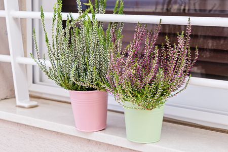 Blooming heather Calluna vulgaris in pot on window sill. House and balcony decoration with seasonal fall flowers