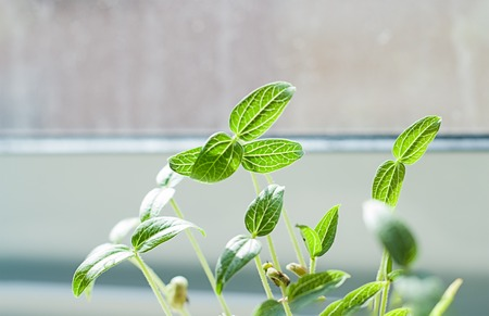 Closeup of green germination seed sprouts in soil on window background. Springtime is time to grow concept Stock Photo