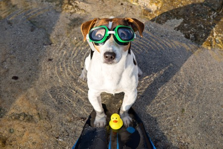 Above view portrait of jack russell terrier dog in swimming glasses and flippers having fun on beach. Concept of fun pastime with dog in the summertime