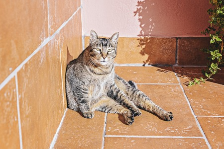 Tabby adult lazy cute cat basks in morning sun on balcony, looking at camera