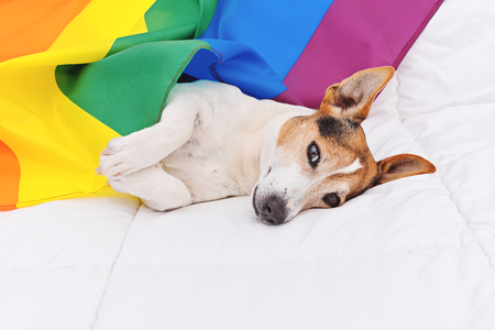 Cute dog jack russell wrapped in rainbow LGBT flag lying on white bed and looking at camera. Pride month celebrate and World peace concept