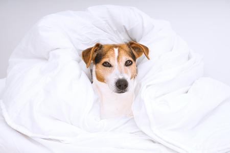 Portrait of cute dog jack russell wrapped in white and looking at camera. Housekeeping routine and laundry concept