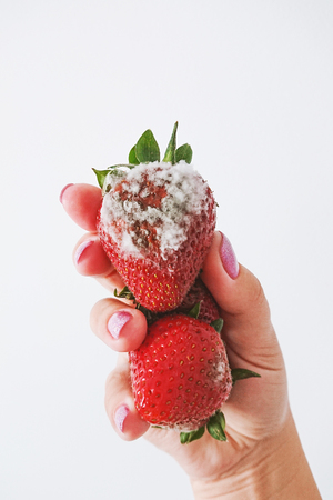 Closeup of rotten moldy strawberry in female hand isolated on white background. Damaged berry with Botrytis cinerea mold