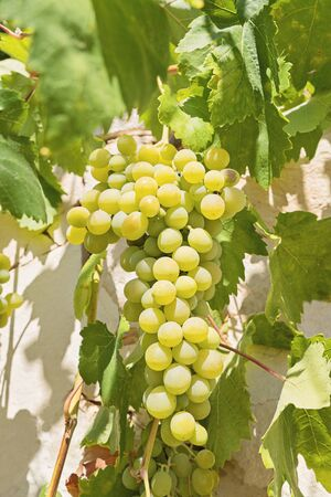 Closeup view of fresh bunch of white grapes on field. Vineyard at sunset in autumn harvest Foto de archivo - 127562679