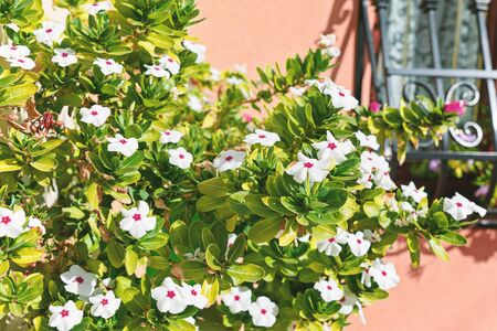Closeup view of Catharanthus roseus or rosy periwinkle bush opposite the window of a residential house Foto de archivo - 127562941