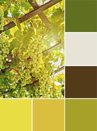 Bunch of white grapes on field at sunset. Autumn vineyard harvest Collage of collection combination yellow and green color palette