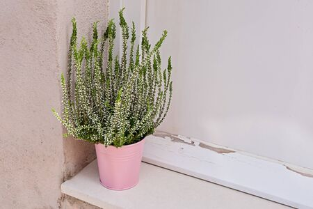 Blooming bush of heather potted near wooden entrance door. House and balcony decoration with seasonal fall plants 스톡 콘텐츠