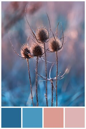 Blue and pink color palette matching on teasel plant in field. Collage for collection combination winter light and dark blue color palette