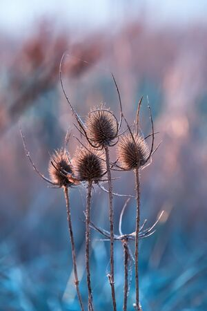 Dry seed head of teasel in sunset beams. Close-up of wild teasel flower, duotone color