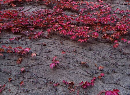 Red leaves of Parthenocissus plant on ancient wall in garden. Autumn mood concept 스톡 콘텐츠