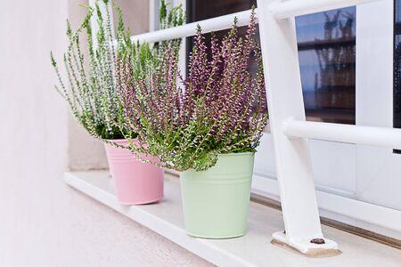 Blooming heather Calluna vulgaris potted on windowsill. House and balcony decoration with seasonal autumn flowers
