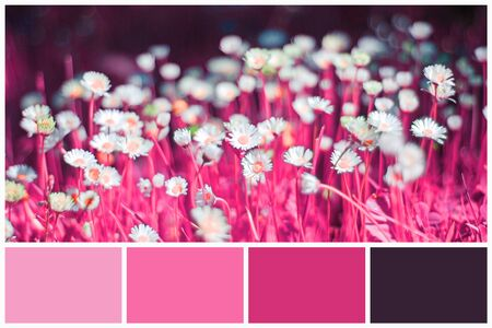 Magenta and pink color palette matching on field of blooming daisies. Collage for collection combination light and dark pink color palette