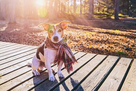 Cute jack russell dog wearing in scarf sitting on wooden boardwalk, looking at camera. Season change and care of dog health in cold season walking concept