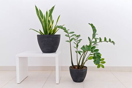 Zamioculcas and Sansevieria potted plants against white wall, indoor. Home decor interior concept with natural house plants Reklamní fotografie