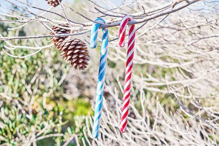 Candy canes on fir branches against green natural background. Christmas decoration background. Winter holiday symbol