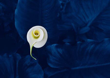 Tender Calla flower bud in leaves toned to classic blue color. Natural floral background, selective focus top view, close-up