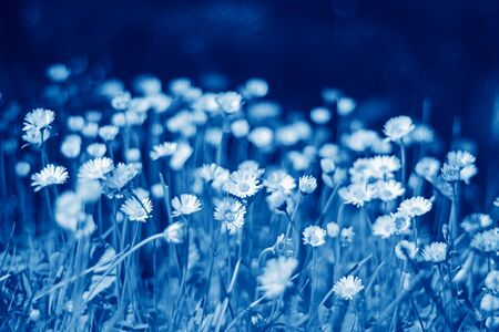 Field of blooming daisy flowers toned in classic blue color. Close Up view with copy space