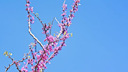 Spring sky background with pink blossom branch of cherry. Beautiful nature scene with blooming tree and clear blue sky. Easter Sunny day and Spring flowers. Springtime banner