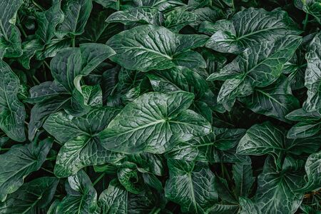 Beautiful natural dark green pattern from Arum Italicum plant leaves, top view. Background and floral pattern for layout for design, soft focus
