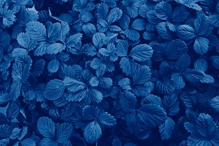 Pattern of leaves of strawberries seedlings, top view, toned to classic blue color Stock fotó - 136788145