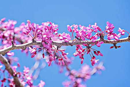Spring background with pink blossom branch of cherry. Beautiful nature scene with blooming tree. Easter Sunny day and Spring flowers. Springtime abstract blurred background Stock fotó - 136788477