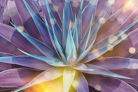 Beautifully bloomed agave leaves like lotus flower. Toned floral pattern agave with magical glow and bokeh