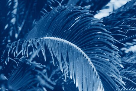 Closeup of palm leaves background toned in classic blue color