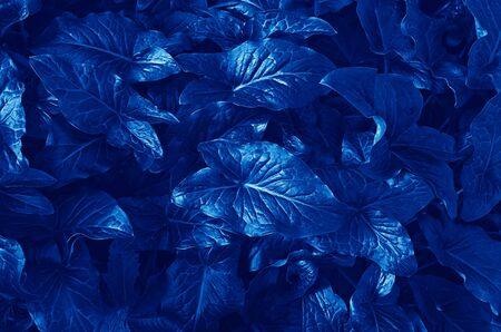 Beautiful classic blue pattern from Arum Italicum plant leaves, top view. Background and floral pattern for layout for design, soft focus, toned image Stock fotó - 136248930