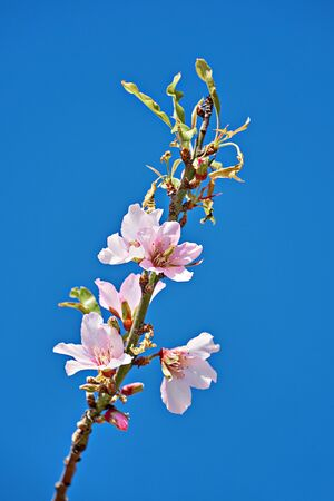 Branch with blooming tender almond flowers against blue sky with copy space. Springtime concept, vertical