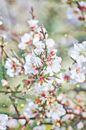 Closeup blooming tender almond flowers on branch against blue sky with artistic bokeh and toned with copy space. Springtime concept, vertical
