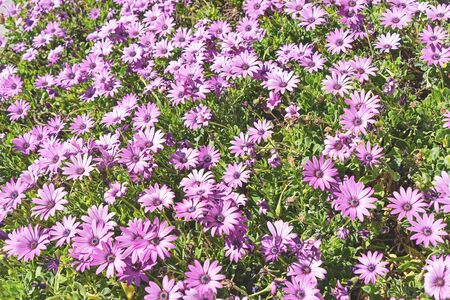Pink rain daisies bush flower in bloom. Natural blooming flowers in garden. Gardening and springtime concept