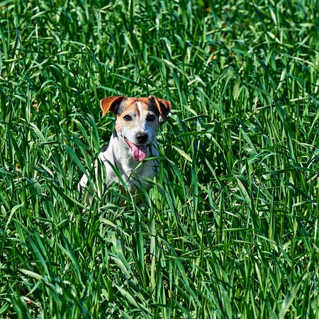 Cute puppy sits in tall green grass. Playful red and white dog jack russell play on farm meadow with copy space Stockfoto