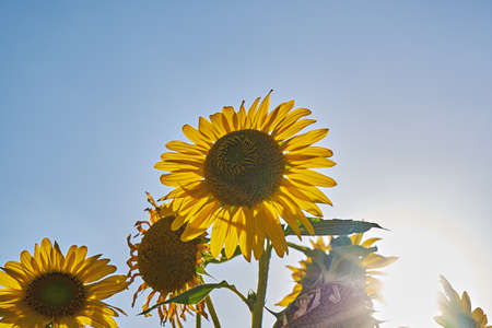 Sunflower inflorescence against summer blue sky. Field of sunflowers, low angle view