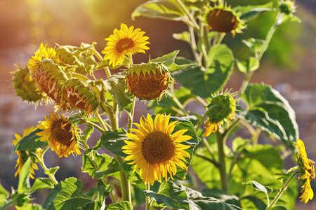 Sunflower. Field of sunflowers against summer meadow backgound