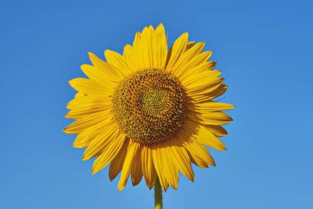 Single sunflower inflorescence close-up on blue background