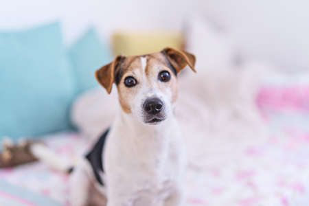 Dog looking at camera, portrait of jack russell terrier in pastel bedroom interior, soft focus