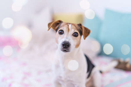 Cute Dog looking at camera, portrait of jack russell terrier in pastel bedroom interior with bokeh, soft focus 스톡 콘텐츠
