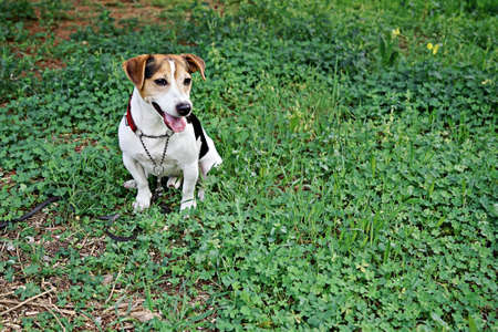 Adorable Funny Dog Jack Russell Terrier Sitting on clover glade. Happy St.Patricks day 스톡 콘텐츠