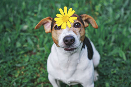 Adorable Funny Dog Jack Russell TerrierDog sitting in green grass with yellow flower daisy on head. Seasons Change Concept. High Angle View