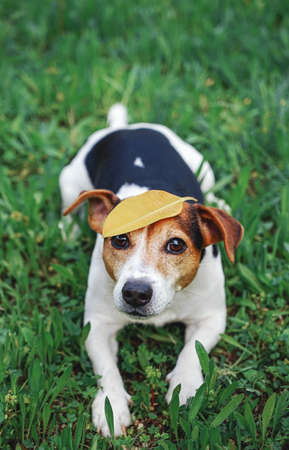 Adorable Funny Dog Jack Russell Terrier Sitting on the Grass With Big Yellow Maples Leaf on Head. Seasons Change Concept. High Angle View