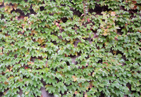 liana: Building wall covered with foliage of liana background Stock Photo