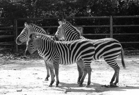 zoo as: Zebra in zoo. Each zebra stripes are as unique as fingerprints Stock Photo