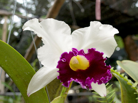 the existing: Beautiful Thai orchid flower close upflora of tropically beautiful orchid, naturally existing in Thailand