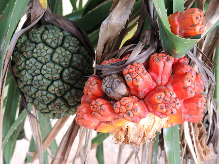 tectorius: Fruits of sea pandanus or screw pine plant tree (Pandanus tectorius or Pandanus odoratissimus)