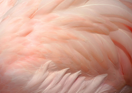 Pink flamingo feathers delicate soft for background.